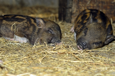 Two sweetly sleeping pig in the straw