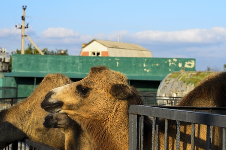 Bactrian camels, looking sadly into the distance