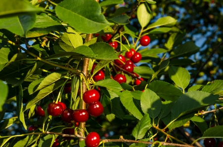 Bunches of red and juicy cherries on a green tree. Stock Photo