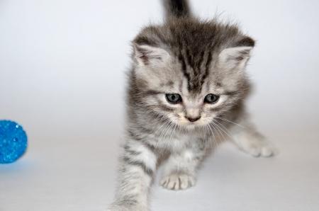 Little tabby kitten in a funny pose.