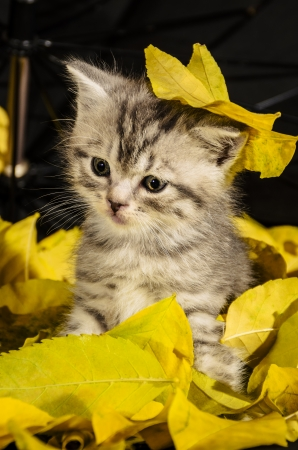 Funny kitten sitting in a pile of yellow foliage