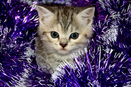 Striped kitten plays with Christmas tinsel  Christmas card