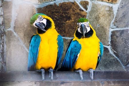 A couple of colorful Blue and Gold Macaws perched on a rope. Stock Photo