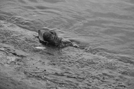 dead duck: dead duck in lake lucerne
