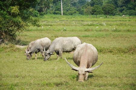 buffalo grass: buffalo feeding grass