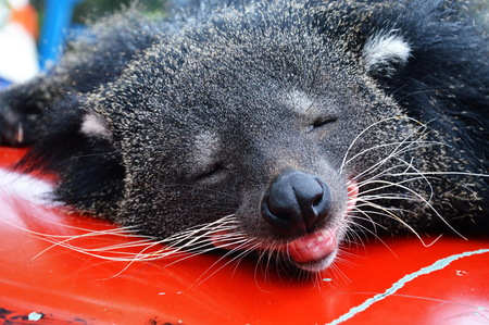 civet cat: bear cat
