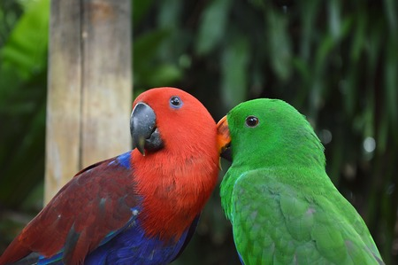 preen: parrot preen together Stock Photo