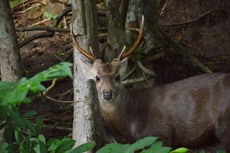herbivore natural: barking deer in the park Stock Photo
