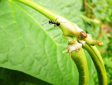 long bean: black ant on yard long bean branch