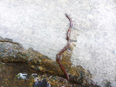 earthworm: earthworm on the ground