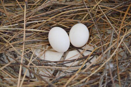 pigeon egg: pigeon egg on the nest