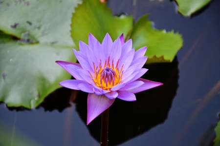 purple lotus: purple lotus in the pool