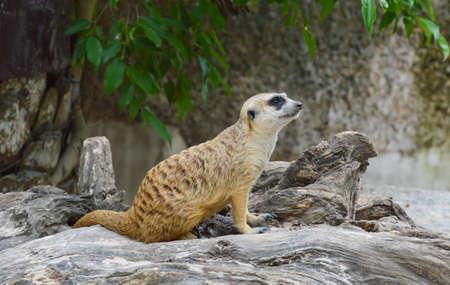 at meerkat: meerkat on the rock