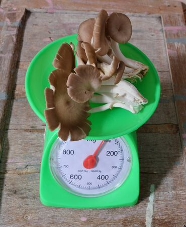 weighting: Indian oyster mushroom on weighting scale