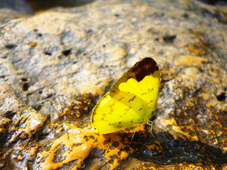 yellow butterfly: yellow butterfly on the rock