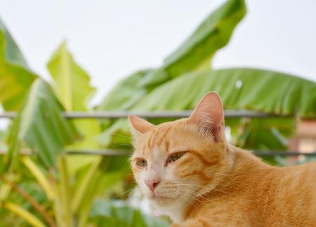 gato naranja: orange cat on banana leaf background