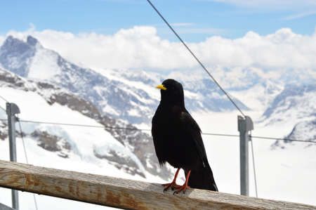crow on Jungfrau mountain in Switzerland photo