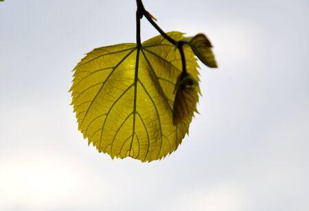 chlorophyll: leaf on the sky Stock Photo