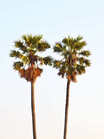 toddy palm: twin toddy palm