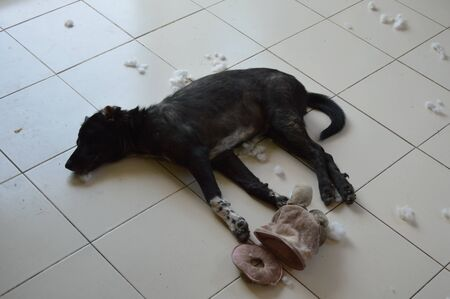 naughty: black puppy sleep after naughty playing Stock Photo