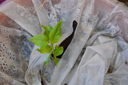 dirt: plant grow from dirt through plastic bag