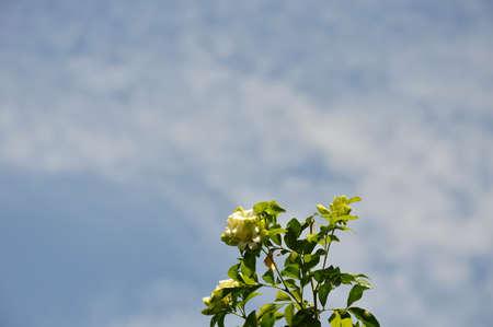 jessamine: orange Jessamine and sky background Stock Photo