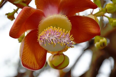 cannonball: cannonball tree in the garden