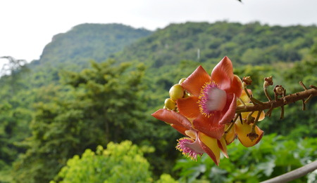 cannonball: cannonball flower on mountain background Stock Photo