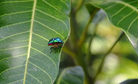 lady bug: lady bug on mango leaf in park