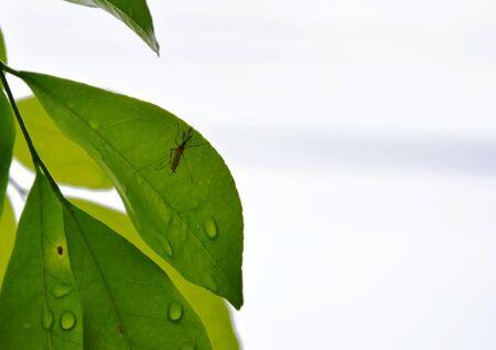 jessamine: mosquito on orange Jessamine leaf Stock Photo