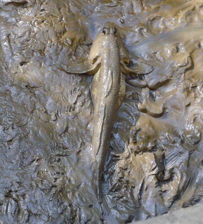 animals amphibious: mud skipper on wetland