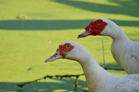 muscovy duck: Muscovy duck near the pool