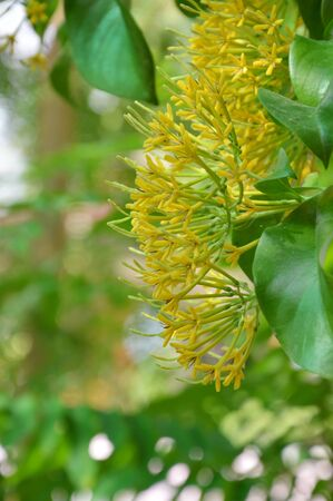 jessamine: yellow night blooming Jessamine in garden Archivio Fotografico