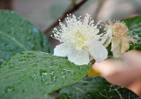 reproduce: guava flower in the garden