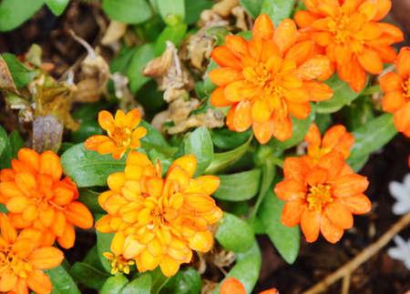 garden marigold: yellow french marigold in garden