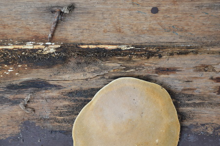 saprophyte: big fungus on old wooden board Stock Photo