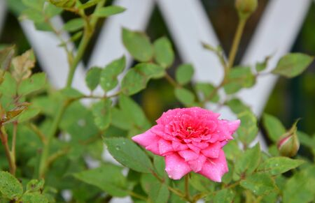 propagation: pink fairy rose in the garden