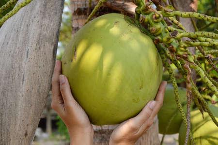 productos naturales: coco en la mano en el jardín Foto de archivo