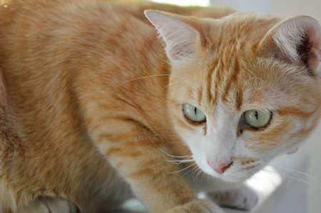 ginger cat: ginger cat in home
