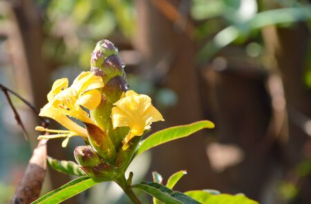 nature cure: hop-headed barleria tropical herb in the garden Stock Photo
