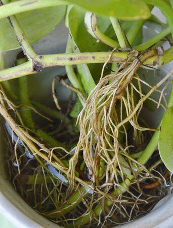 betel: root of betel leaf in flower pot