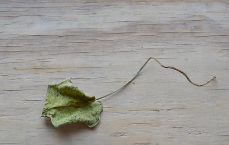 droop: dry lotus leaf on wooden board