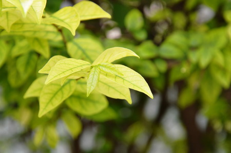 chlorophyl: leaf of wild water plum changed color in garden Stock Photo