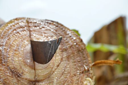 blade cut: Thai sword blade stab on banana tree stump after cut in garden Stock Photo