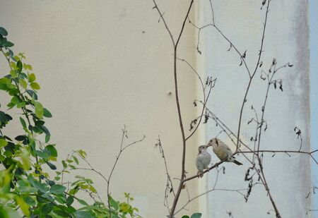 preen: sparrow mother take care her baby by preening on head Stock Photo