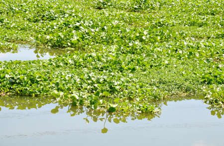 water hyacinth: water hyacinth floating full on the canal