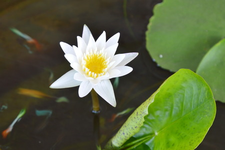 white lotus blooming in water