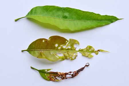 impermanent: fresh and dry with humus mango leaf on white background