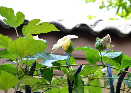 chayote: chayote flower climbing on iron home fence
