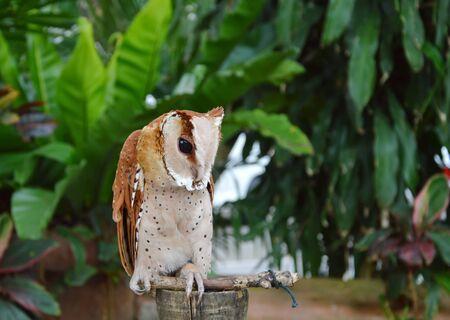 grab: oriental bay owl grab on wooden perch Stock Photo